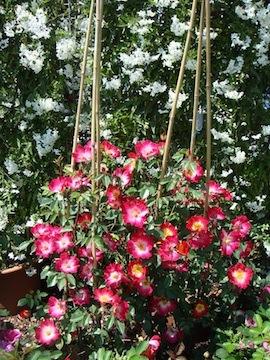Ekk abruzzo in sintesi in mostra le rose e le piante for Rose piante