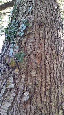 le processionaria su un pino