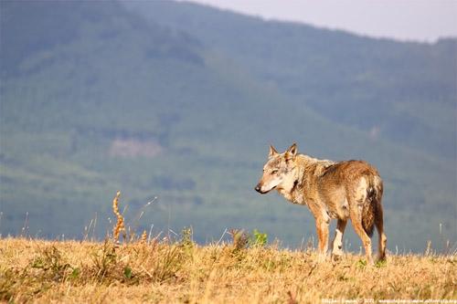 lupo in Abruzzo