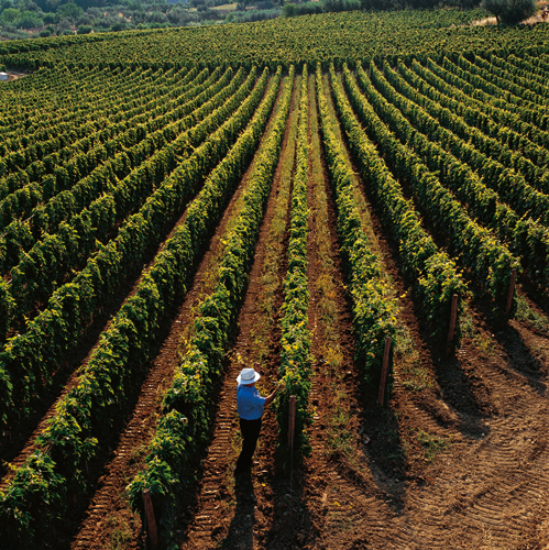 gianni-in-vineyard