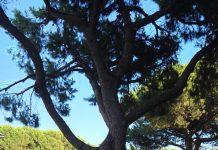 pino in via Muzii a Pescara