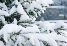 neve alberi