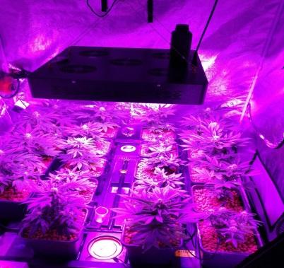 coltivazione cannabis