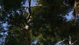 pino d'aleppo storico silvi marina