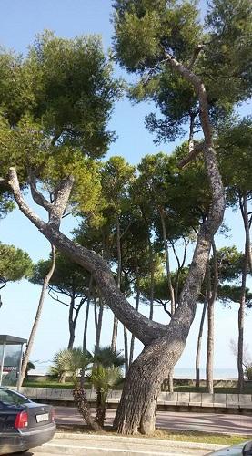 pino d'aleppo storico silvi