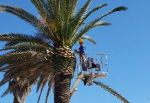 Potatura palme lungomare Roma 2