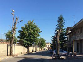 tigli in Via San Rocco a Collecorvino