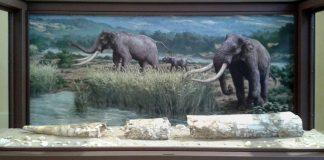 zanna di elefante