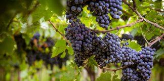 uve di Montepulciano