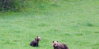 cuccioli orso