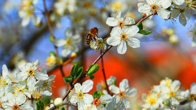 fiori di pesco ape