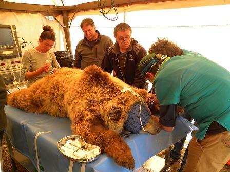 operazione orso bruno