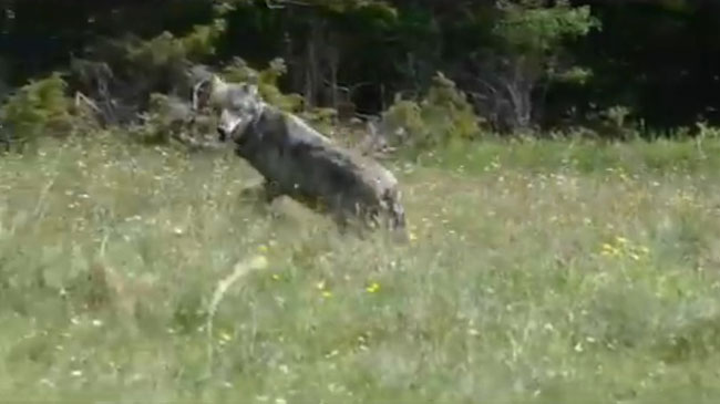 lupo liberato