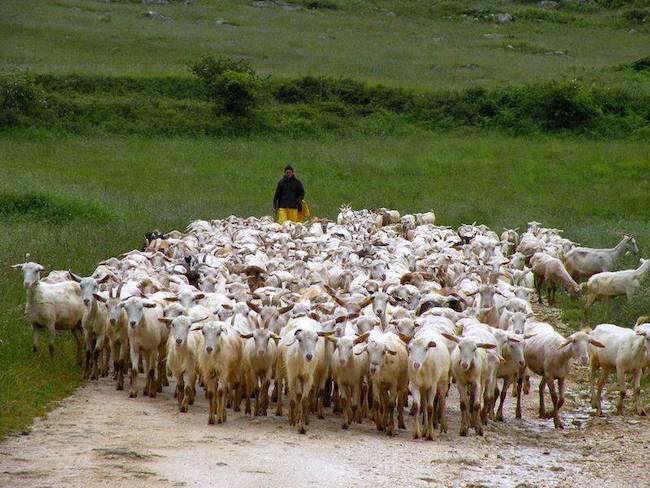 allevatori pecore