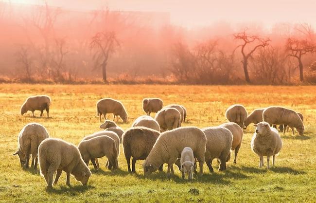 gregge agnelli