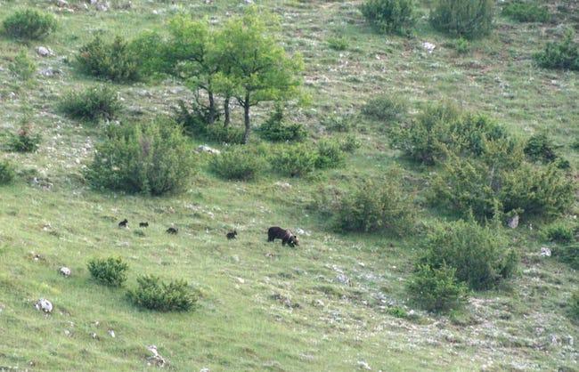 foto orsa marsicana 4 cuccioli