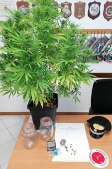 pianta cannabis