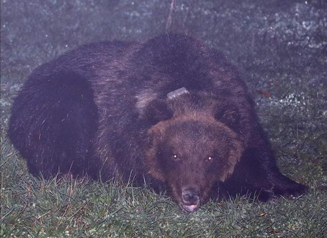 foto orsa peppina notturna
