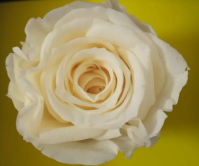rosa 8 marzo